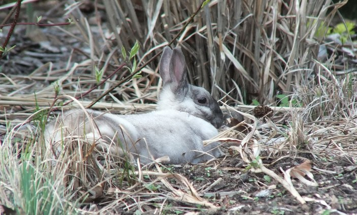 White and grey rabbit - profile right side - Milliken Park - Toronto - Ontario