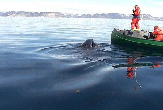 photograph of a baby bowhead whale swimming beside an Inuit canoe off Kekerten Island, Nunavut, Canada