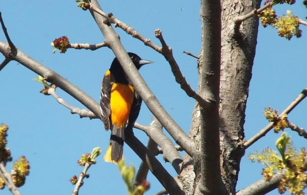 baltimore oriole looks right - thicksons woods - whitby - ontario
