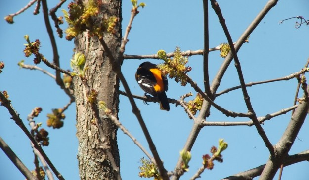 baltimore oriole sits on tree branch -- thicksons woods - whitby - ontario