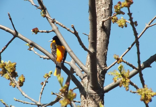 baltimore oriole - thicksons woods - whitby - ontario