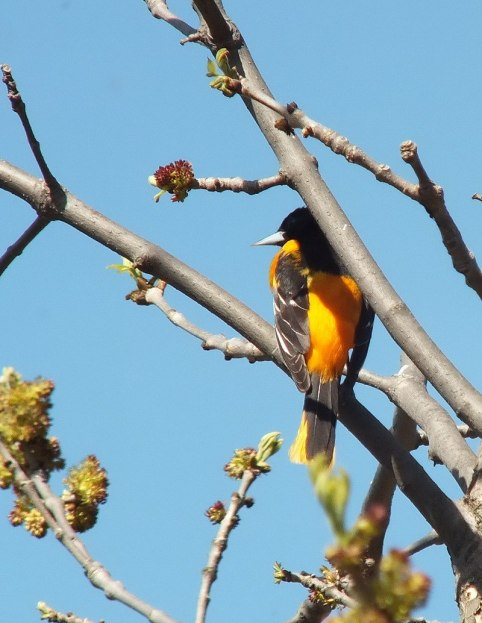 baltimore oriole -- thicksons woods - whitby - ontario