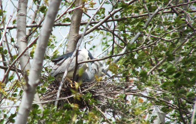 Black-crowned Night Herons in a nest at Tommy Thompson Park in Toronto, Ontario, Canada