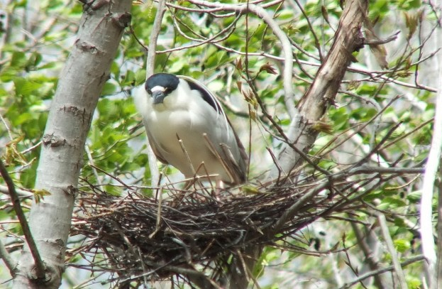 Black-crowned Night Heron in its nest at Tommy Thompson Park, in Toronto, Ontario, Canada.