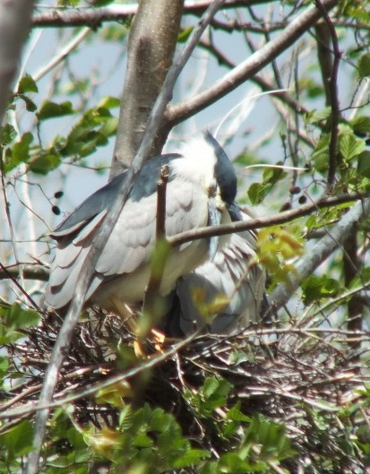Black-crowned Night Herons resting in their nest at Tommy Thompson Park, in Toronto, Ontario, Canada