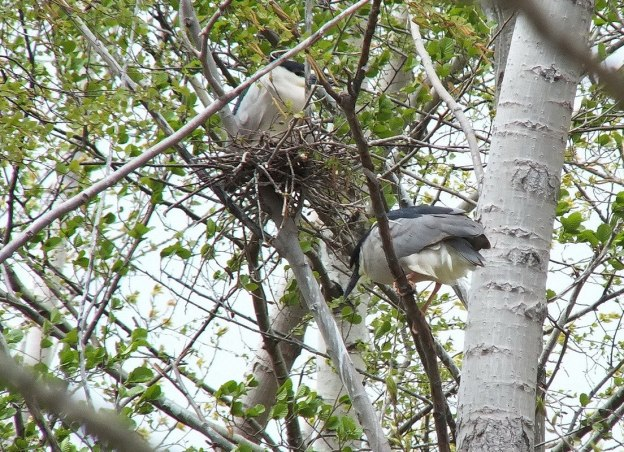 Black-crowned Night Herons at nest in Tommy Thompson Park, in Toronto, Ontario, Canada