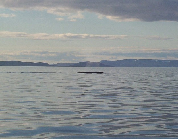 bowhead whale - blowing water from nose - baffin island - nunavut
