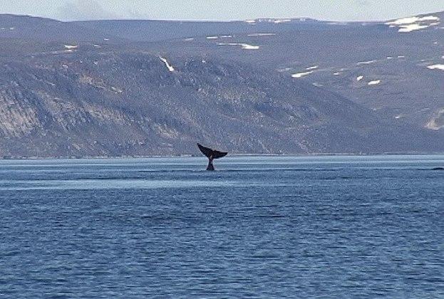 bowhead whale does head stand off baffin island - nunavut - canada