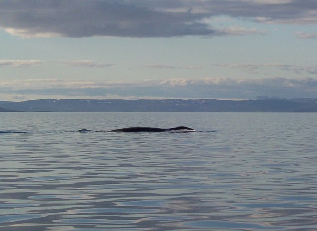 bowhead whale on surface - off baffin island - nunavut - canada