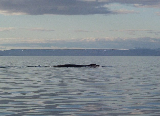 bowhead whale on surface - off baffin island - nunavut - canada