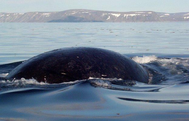 bowhead whale prepares to dive - off baffin island - nunavut - canada