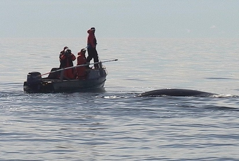 bowhead whale surfaces beside inuit boat - off baffin island - nunavut