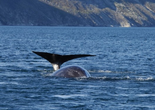 photograph of a bowhead whale swimming on the surface of the water off Baffin Island, Nunavut, Canada.