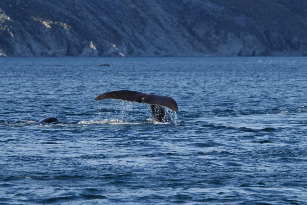 bowhead whales swimming toether off baffin island - nunavut