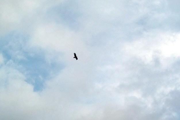 condor soars in sky, Nuevo Santiago, Peru