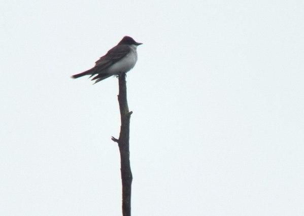eastern kingbird - swamp - oxtongue lake - ontario