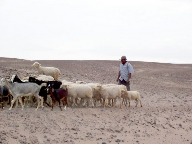 Sheepherder with goats and sheep near the Chauchilla Cemetery in Peru, South America