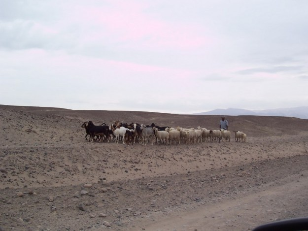 Sheepherder with goats and sheep near the Chauchilla Cemetery in Peru, South America.