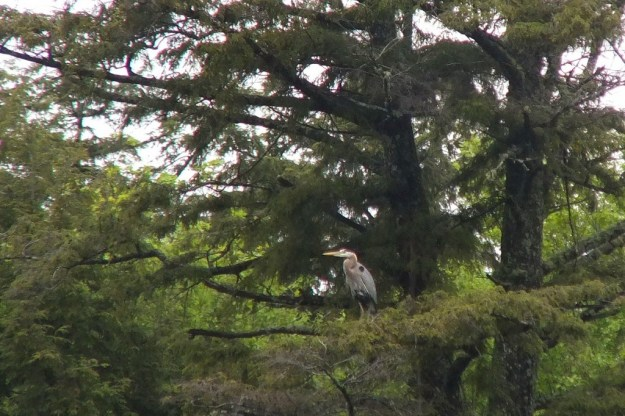 great blue heron - sits on pine tree -- - oxtongue lake - ontario