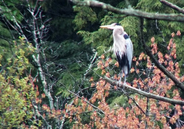 great blue heron - sits on tree limb in swamp - oxtongue lake - ontario