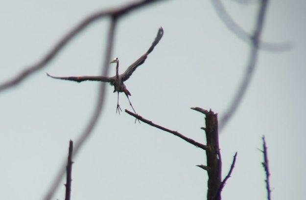 great blue heron - takes flight 5 - oxtongue lake - ontario