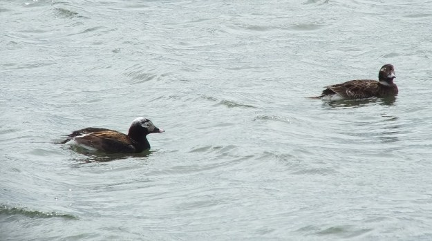 long-tailed duck - male and female out front - tommy thompson park - toronto - ontario