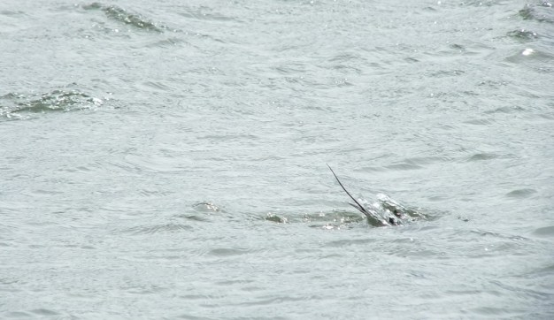 long-tailed duck - the dive part 3 - tommy thompson park - toronto - ontario