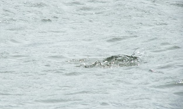 long-tailed duck - the dive part 4 - tommy thompson park - toronto - ontario