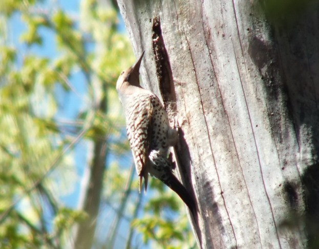 Northern Flicker on a tree in Thicksons Woods in Whitby, Ontario, Canada