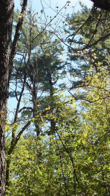 pine trees, Thicksons Woods, Whitby, Ontario