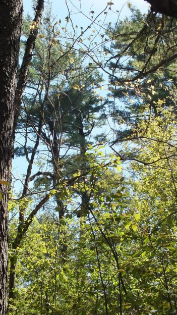 pine trees - Thicksons Woods - Whitby - Ontario