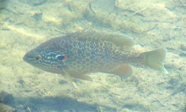 pumpkinseed fish - milliken park pond - toronto - ontario