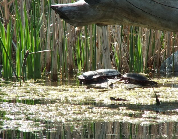 red-eared slider and midland painted turles - milliken park pond - toronto - ontario