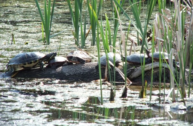 red eared slider and midland painted turtles - milliken park - toronto -- ontario