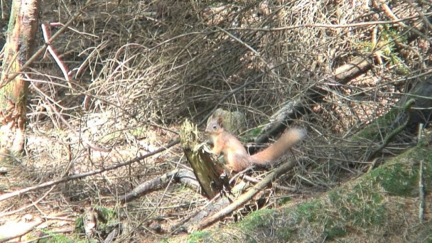 red squirrel - wicklow mountains - ireland