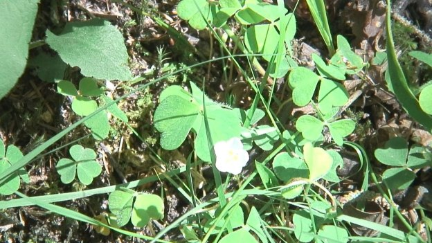shamrocks on ground at wicklow mountains national park - ireland
