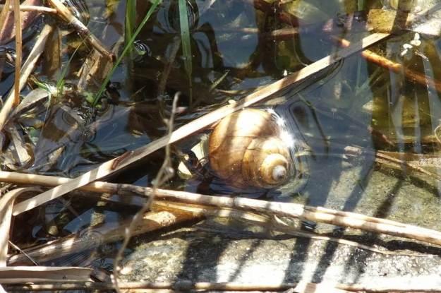 snail in milliken park pond - toronto - ontario