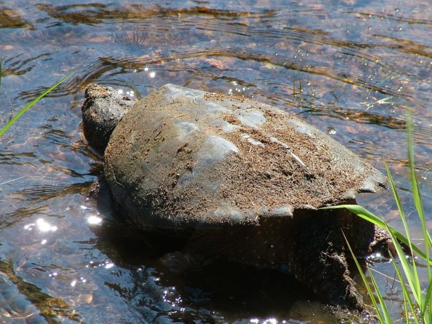 snapping turtle heads into water at oxtongue lake - ontario- canada