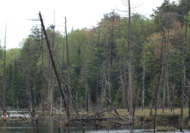 swamp with heron nest near oxtongue lake - ontario - canada