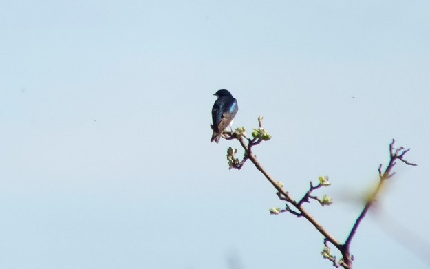 tree swallow - blue back - thicksons woods meadow - whitby - ontario