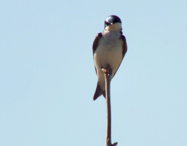 tree swallow - looks at me - thicksons woods meadow - whitby - ontario