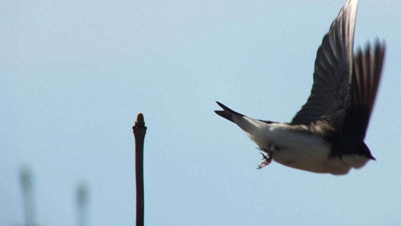 tree swallow - takes flight - thicksons woods meadow - whitby - ontario