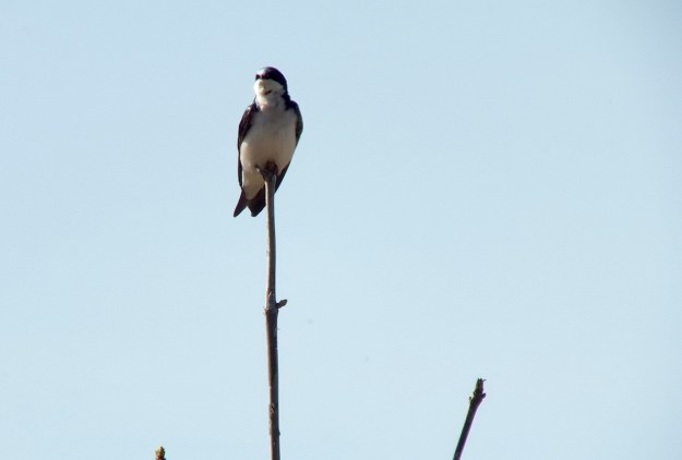 tree swallow - thicksons woods meadow - whitby - ontario