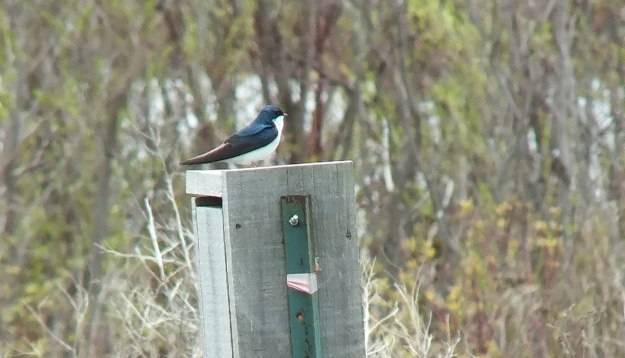tree swallow - tommy thompson park - toronto - ontario