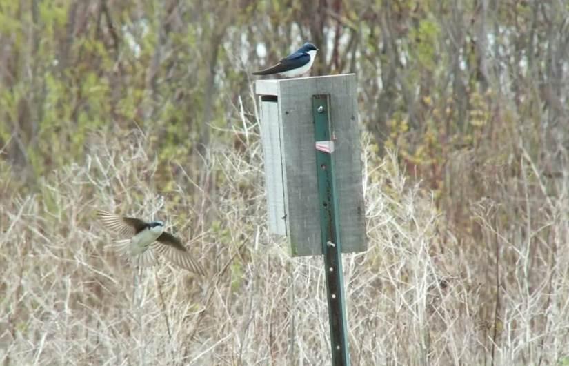 tree swallows - - tommy thompson park - toronto - ontario