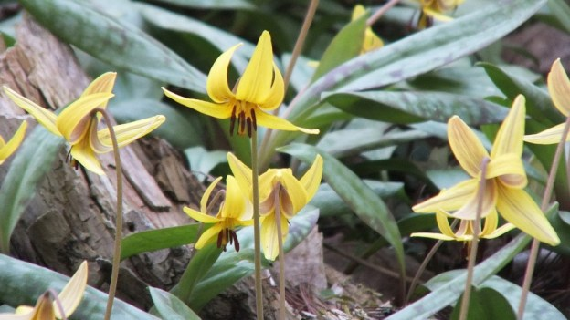 trout lillies closeup --- thicksons woods - whitby - ontario