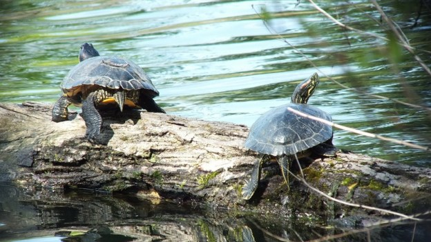two red-eared slider turtles - on a log - milliken park - toronto - ontario - canada