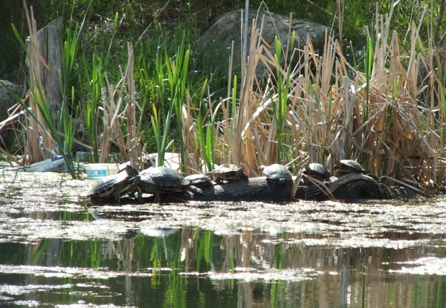 various types of turtles - milliken park - toronto - ontario
