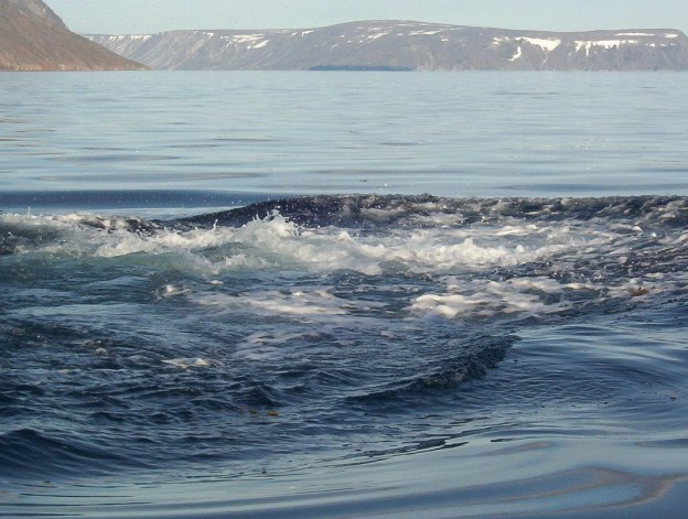 wake from bowhead whale after it dived - off baffin island - nunavut