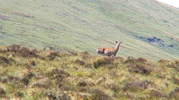 wild deer - on wicklow way hiking trail - wicklow mountains - ireland
